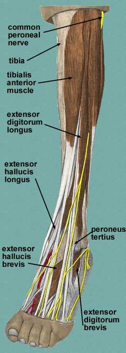 tibialis anterior & extensors