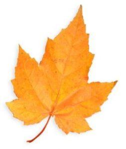 Single_Golden_Maple_Leaf